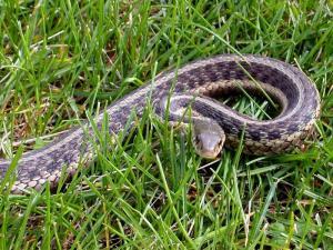 Snake in Backyard