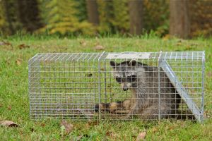 Raccoon-Removal-Cage