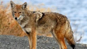 coyote Denver