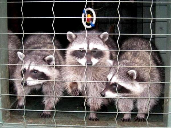 raccoons humane trap