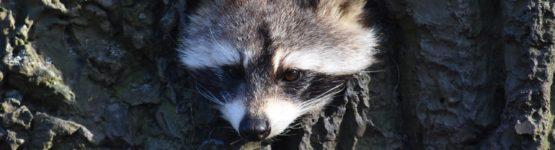 pest raccoons