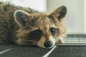 raccoon elimination